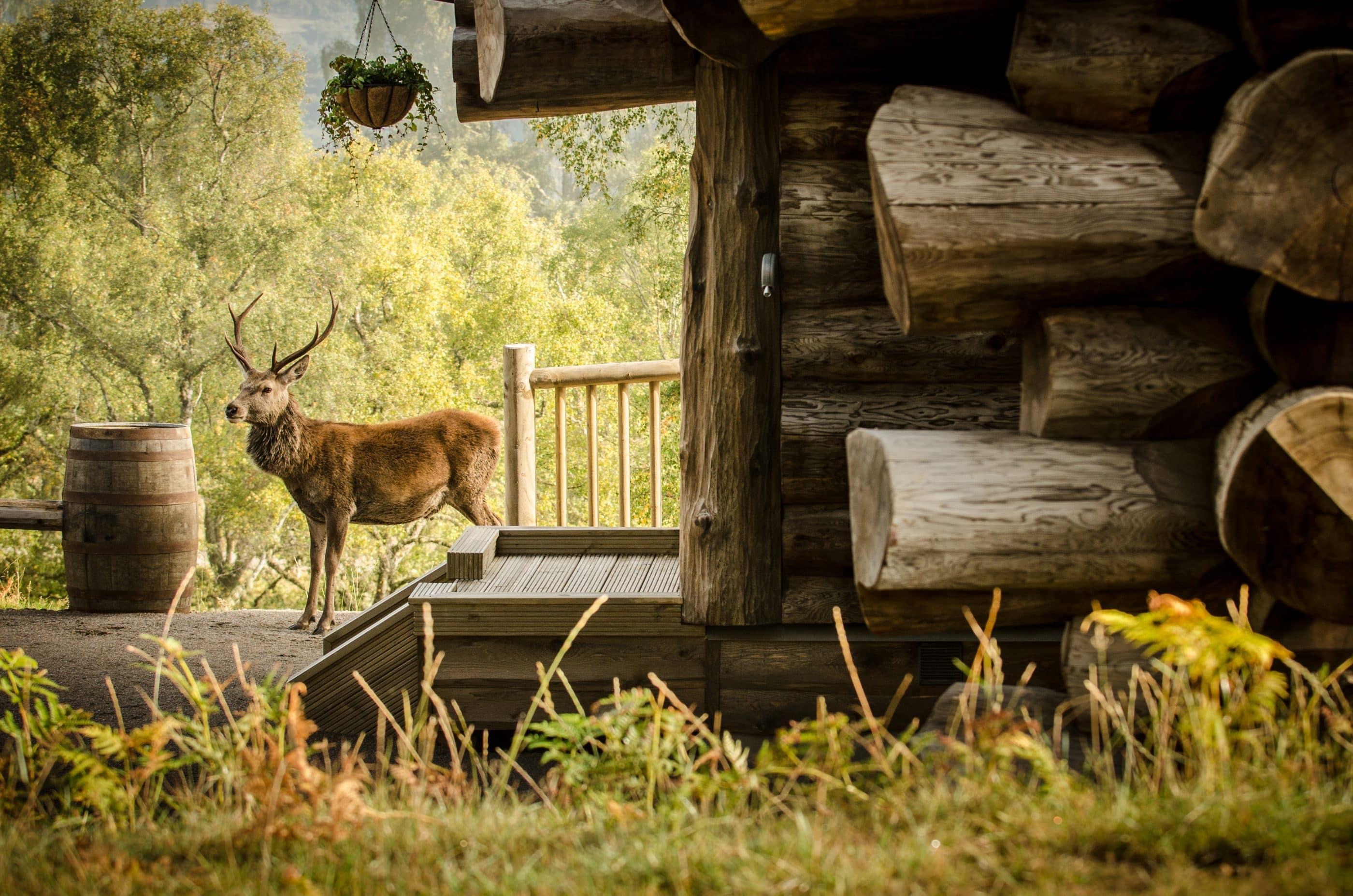 Deer standing in front of log cabin